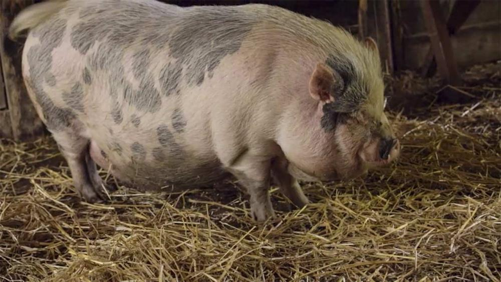 Photo of a Pig