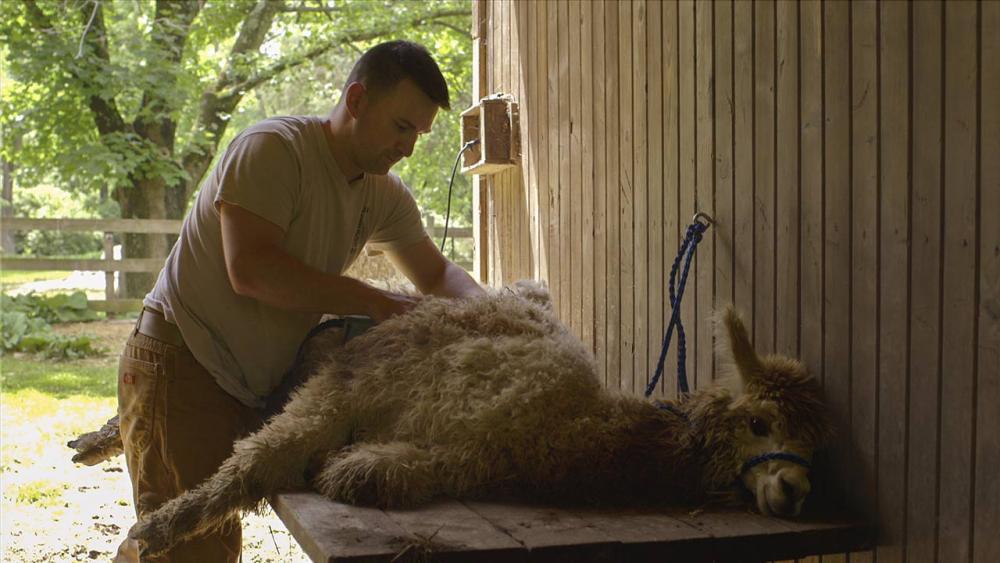John shaving an alpaca on a table in the barn
